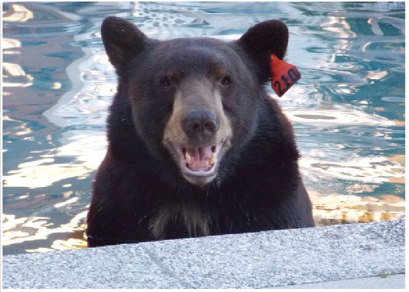 The Crescenta Valley – if not the country – was fascinated with Meatball the bear that frequented foothills neighborhoods in search of food. Shown above in a backyard pool, the bear has since been relocated to Lions, Tigers & Bears, a sanctuary in Alpine, Calif.