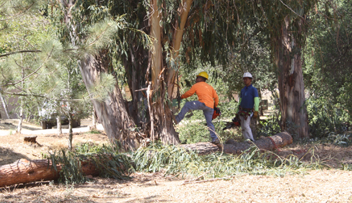 Photo by Molly SHELTON Workers cut away dead vegetation at  Camp Max Straus in the Verdugo Mountains. The camp workers have been diligently working on abatement at the location to be proactive in the fight against wildfires.