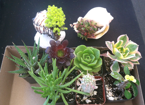 Start a succulent garden at Harvest Market.