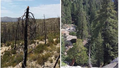 Photos by Steve GOLDSWORTHY A burnt shell of a tree (left) remains five years after the Station Fire swept through the Angeles National Forest. When compared to acres of nearby land untouched by the blaze, the long lasting effects of the state's largest wildfire are obvious.