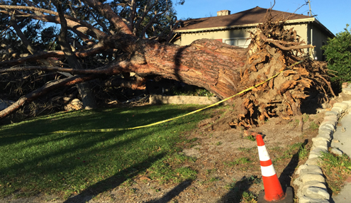 Photo by Charly SHELTON A massive tree in the 4900 block of Ramsdell caused damage to a house when high winds cause it to topple over on Dec. 30.