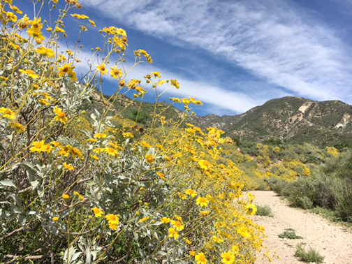 Photo by Jessy SHELTON Visitors to Deukmejian Wilderness Park will see an abundance of Encelia farinosa lining trails.