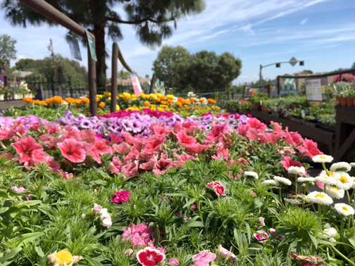 Photo by Mary O'KEEFE Gardeners at Armstrong Garden Center in La Cañada recommend planting violas and pansies and in mid-spring it's time for snapdragons and petunias.