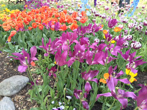 Photo by Mary O'KEEFE  Tulips of all shapes and colors are blooming at Descanso Gardens.
