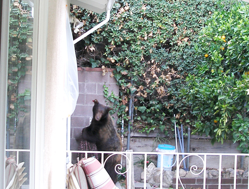 Photo courtesy of Mike BALDWIN  The sound of a bear enjoying a dip in the pool of Whiting Woods residents Mike and Carol Baldwin drew the couple to their backyard. There they found a bear just exiting their pool and heading to the back wall.