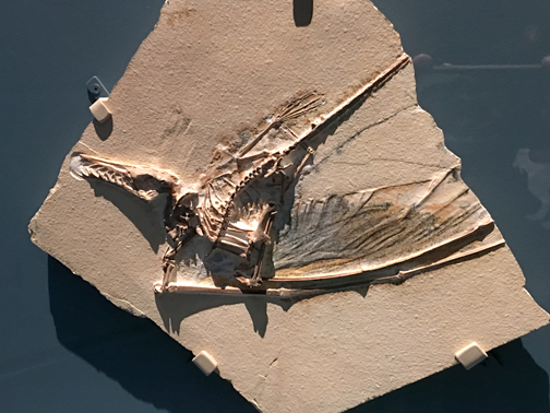 Rhamphorhynchus muensteri fossil is known as Dark Wing for it's dark tissues preserved in the wing.